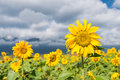 Sunflowers under the sky Royalty Free Stock Photo