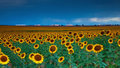 Sunflowers under a stormy sky by Denver airport