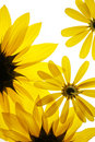 Sunflowers on white background Stock Images