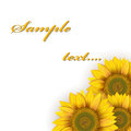 Sunflowers on a white background Royalty Free Stock Photos