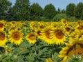 Sunflowers, zonnebloemen (Helianthus annuus) Royalty Free Stock Photo