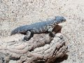 Sungazer lizard Royalty Free Stock Photo