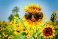 Sunglass on sunflower summer or autumn Stock Photos