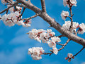 Sungold Apricot Blossoms against Blue Sky Royalty Free Stock Photography