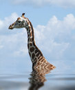 Sunken rothschild giraffe detail of a on reflective water surface Stock Image