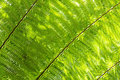 Sunlight backlit Cyathea fern fronds leaves natural floral background Royalty Free Stock Photo