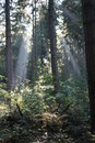 Sunlight Beams In Forest Royalty Free Stock Photo
