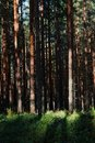 Sunlight breaks through the  Pine forest Royalty Free Stock Photo