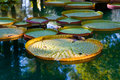 Sunlight on brightly colored Victoria regia waterlily leaves Royalty Free Stock Photo