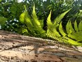 Sunlight through green fern on old red brick wall Royalty Free Stock Photo