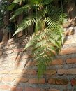 Sunlight through green fern on old red brick wall , natural background Royalty Free Stock Photo