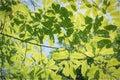 Sunlight through green leaves. Hornbeam Carpinus