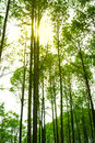 Sunlight in the green pine forest, spring time. Warm sun in fore Royalty Free Stock Photo