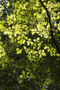 Sunlight and hornbeam leaves back lit european in a surrey forest england uk Royalty Free Stock Image
