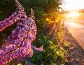 Sunlight illuminate lupine flower near road after rain setting Royalty Free Stock Images