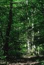 Sunlight  illuminating trunks of beech treees Royalty Free Stock Photo