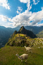 Sunlight on Machu Picchu, Peru, with llamas Royalty Free Stock Photo