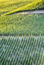 Sunlight over a green summer vineyard on the face of hill photographed in with morning or evening glow Royalty Free Stock Photos