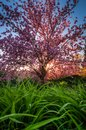 Sunlight sparkles through pink tree blossoms with bright green grass in the foreground Royalty Free Stock Photo