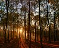 Sunlight through tall trees in a forest in autumn Royalty Free Stock Photo