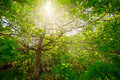 Sunlight thru the foliage of a oak tree with greean and leafs wideangle image Royalty Free Stock Images