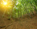 Sunlight through the trees in the forest Royalty Free Stock Photo
