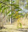 Sunlit Australian Zig-zag Wattle Flower Acacia macradenia Royalty Free Stock Photo