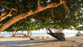 Sunlit closeup image of old trees and loungers on tropical beach sandy at sunrise in cuban resort Stock Photography