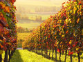 Sunlit colored vineyard Royalty Free Stock Photo
