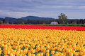 Sunlit Field of Yellow and Red Tulips Royalty Free Stock Photo