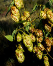 Sunlit hops hop blossoms in autumn Royalty Free Stock Photography