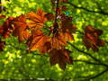 Sunlit leaves Stock Image