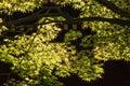 Sunlit leaves of maple tree japanese Stock Photos