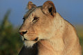 Sunlit Lioness looking sideways with a natural background in the Masai Mara, Kenya