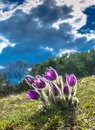Sunlit mountain flowers on a meadow in front of dark clouds Stock Photos