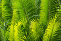 Sunlit palm leaves Royalty Free Stock Photo