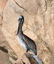 Sunlit Pelican perching on Los Arcos rocks at Lands End in Cabo San Lucas Baja Mexico Royalty Free Stock Photo