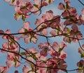 Sunlit Pink Dogwood Bracts Royalty Free Stock Photo