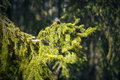 Sunlit spruce tree branch in the backwoods Stock Images