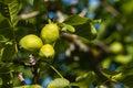 Sunlit walnut husks detail of Royalty Free Stock Images