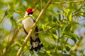 Sunlit yellow billed cardinal in bush closeup of a red white and black perching on a branch a Stock Image