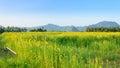 Sunn hemp field with clear blue sky. Royalty Free Stock Photo