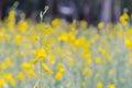 Sunn hemp Field Royalty Free Stock Photo