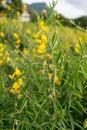 Sunn hemp flower on field Royalty Free Stock Photo