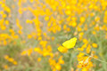 Sunn Hemp flower Royalty Free Stock Photo