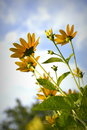 Sunning flowers small sunflowers pointing towards the sky Royalty Free Stock Photo