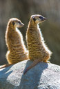 Sunning Meerkats Royalty Free Stock Photo