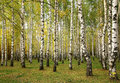 Sunny autumn birch trees Royalty Free Stock Photo
