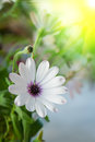 Sunny daisy flower individual against a soft bright background of leaves and plants Stock Image