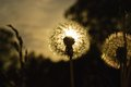 Sunny dandelion lit by the evening sun Stock Images